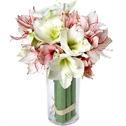 Majestueuses Amaryllis