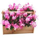 Cactus orchidée