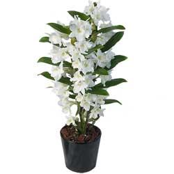 32.00 € : Un parfum délicat Aquarelle choisit aujourd'hui de vous faire découvrir une variété originale d'orchidées : le dendrobium nobile. Ces fleurs ont une infinité de formes, de couleurs et un parfum subtilement sucré ... Gracieuse et délicate, cette orchidée séduira votre entourage et embellira votre intérieur. Votre orchidée sera accompagnée d'un joli cache-pot en céramique.