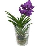 L'orchide Vanda