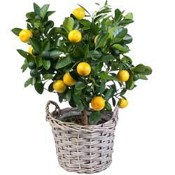 35.00 € : un petit arbuste fruitier pour tout l'hiverAquarelle vous propose ce magnifique oranger au feuillage vert foncé qui fleurit pratiquement toute l'année. Il se couvre de petites oranges de la taille d'une mandarine et de délicates fleurs blanches très parfumées. Il se plaira surtout sur un balcon abrité ou dans des pièces temperées , il demande une luminosité importante afin de déclencher les cycles de floraison. L'arrosage doit être régulier et il faudra veiller à ce que l'eau ne stagne pas au niveau des racines. Nous vous le proposons accompagné de son joli panier en osier tressé...