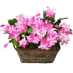 29.00 € : Une plante 'Vintage' !Présentés dans une ravissante corbeille en osier, voici de charmants Epiphyllum aux fleurs spectaculaires d'un rose acidulé. Redécouvrez cette plante verte aux fleurs magnifiques, adorée de nos grands-mères. Appelée également 'Cactus orchidée', elle est originaire d'Amérique centrale et se cultive assez facilement dans nos appartements, placée dans une pièce lumineuse avec très peu d'eau. Facile à cultiver et à multiplier par bouturage, vous apprécierez sa floraison abondante.Un cadeau original à offrir sans plus attendre !