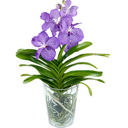59.00 € : La plus spectaculaire des orchidéesAquarelle choisit de vous faire découvrir une collection originale d'orchidées... La Vanda est sans conteste la plus majestueuse et la plus spectaculaire d'entre elles. Sa couleur bleu profond saura séduire les amateurs et les esthètes. Cette plante épiphyte vous est livrée dans un grand vase transparent qui apportera toute la lumière nécessaire à ses racines pour un parfait épanouissement. Avec cette orchidée, offrez un peu de rêve et de magie à votre entourage !Le vase est OFFERT et sera envoyé avec votre orchidée.